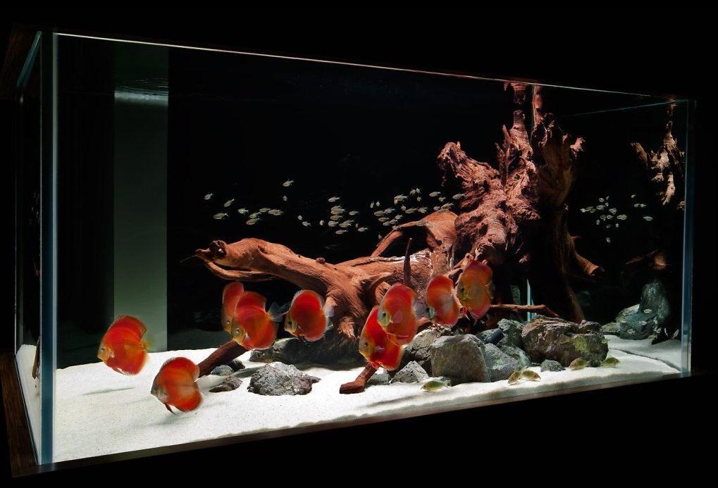 Красные дискусы прекрасно смотрятся на фоне белого песка и коряги сочного древесного цвета