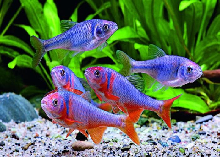 В аквариуме объемом 100 литров, стоит уделить особое внимание не только оформлению но и живым обитателям
