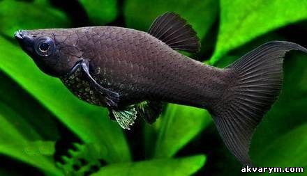 Моллинезия черная самка