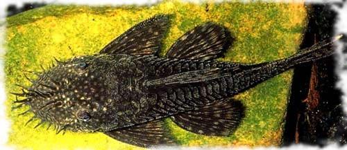 анциструс популярная рыбка