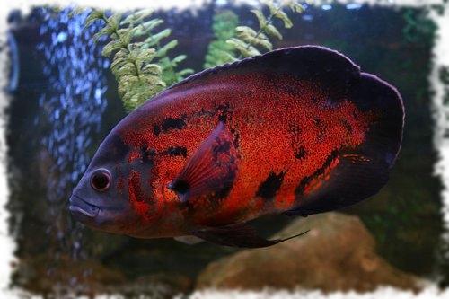 астронотус популярная рыбка