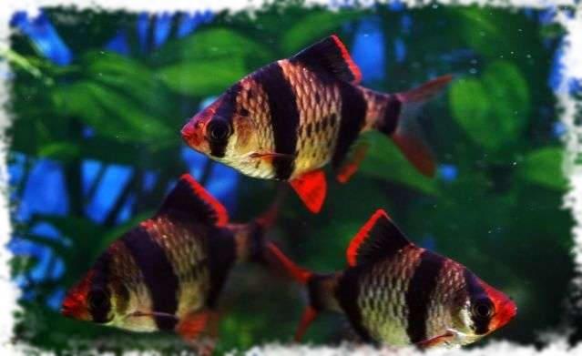 барбус популярная аквариумная рыбка