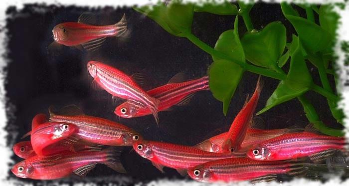 данио популярные рыбки
