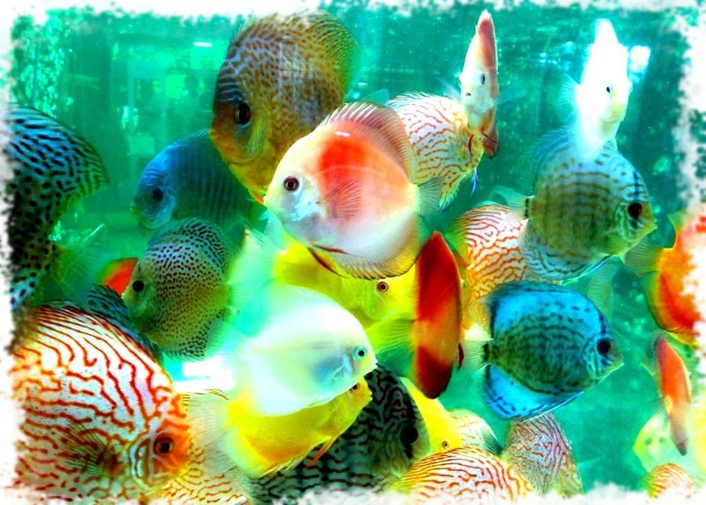 популярные рыбки дискусы