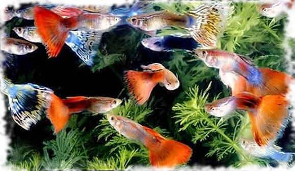 самые популярные рыбки гуппи