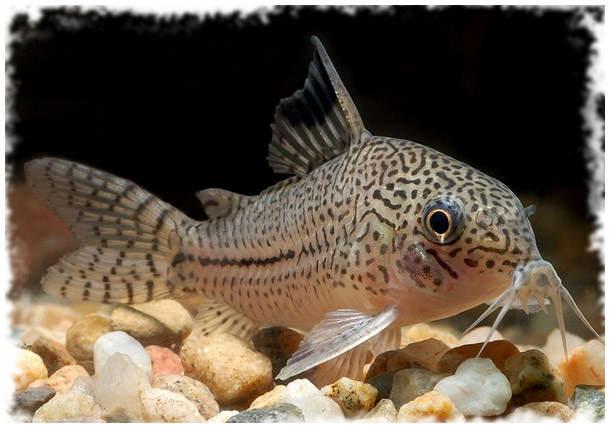 популярные рыбы коридорасы
