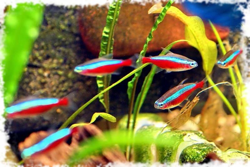 популярные неоны рыбки