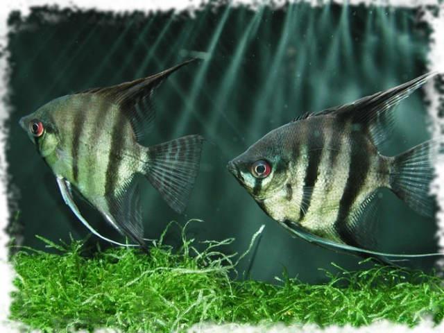 самые популярные рыбки скалярии